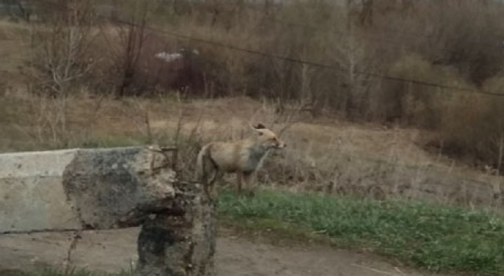 На улицах городов и сел Чувашии появились лисы