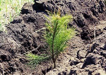 За месяц в Приамурье высадят 9 миллионов сосен, лиственниц и кедров