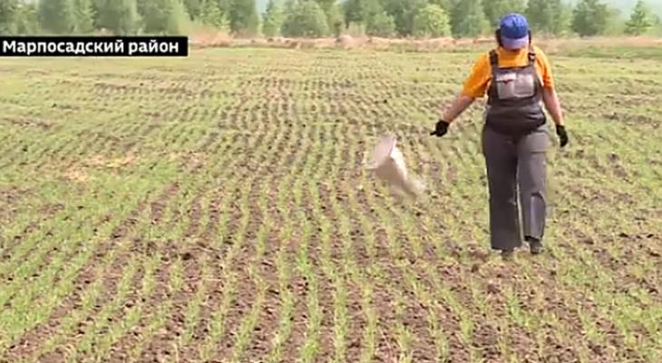 Специалисты обеспокоены появлением вредителя в чувашских полях