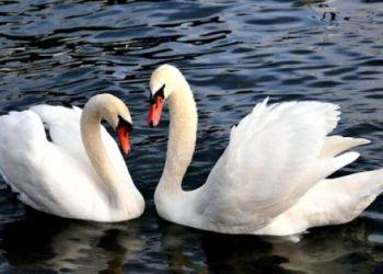 В Ивановке пара белых лебедей вернулась на озеро