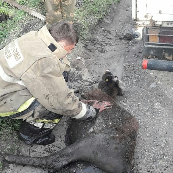 Корову и теленка, попавших в беду, спасли в Магдагачах