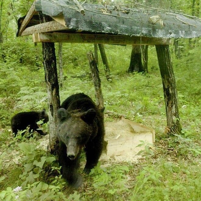 Премилая семья медведей попала в кадр фотоловушки в Бурейском районе