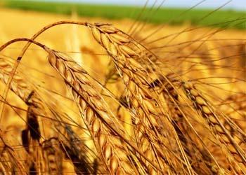 Амурской пшеницей и кукурузой заинтересовались японцы