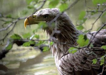 Из передвижного цирка в Благовещенске изъяли краснокнижного орлана