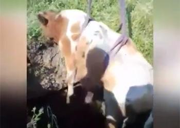В Магдагачах в колодец упал бычок