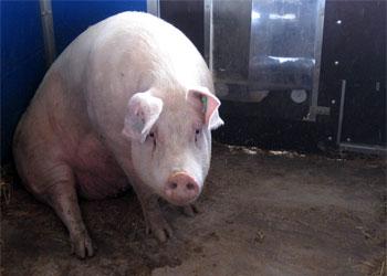 Каждой свинье в Приамурье поставят прививку от ящура