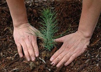 Более семи миллионов маленьких сосен, кедров и лиственниц высадили в Приамурье