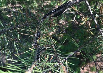 Специалисты посчитают гусениц в амурских лесах