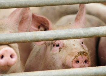 Новые очаги африканской чумы свиней найдены в Приморье