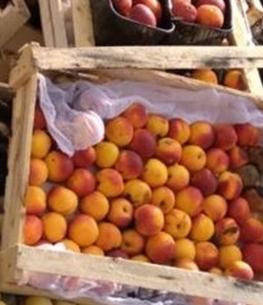 В Чебоксарах раздавили 700 килограммов нелегальных нектарин