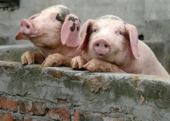 В хозяйстве Усть-Ивановки у свиней подозревают африканскую чуму