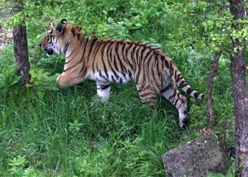 Переселенный в Приамурье тигр Павлик задавил лося и съел