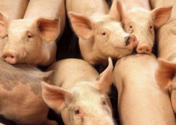 В Приамурье поймали двух продавцов свинины
