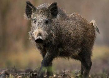 Разносчика африканской чумы свиней на Дальнем Востоке назвал WWF России