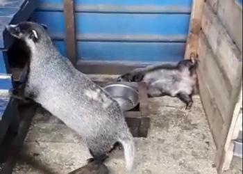 Барсучихе Лиде из благовещенского зоопарка нашли жениха