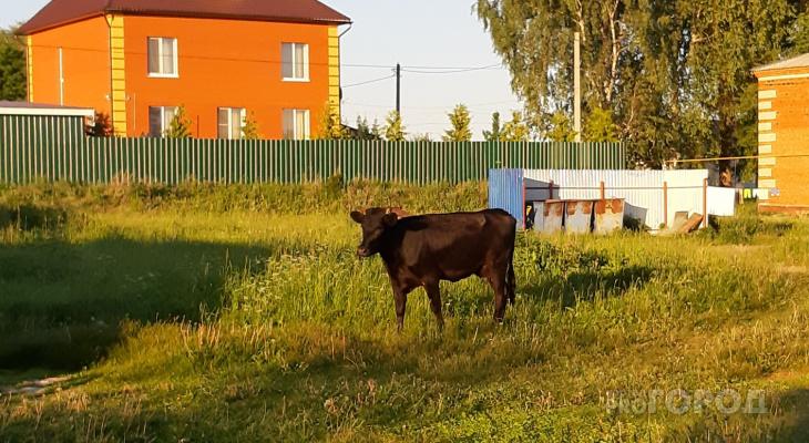 В деревне Альмень-Сунары за день один бык протащил по земле женщину, а другой боднул хозяйку