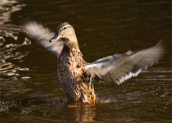 У амурских охотников попросили крылья добытых уток