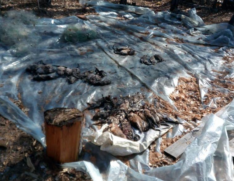 Браконьера, наловившего более 30 ондатр, задержали в Магдагачинском районе