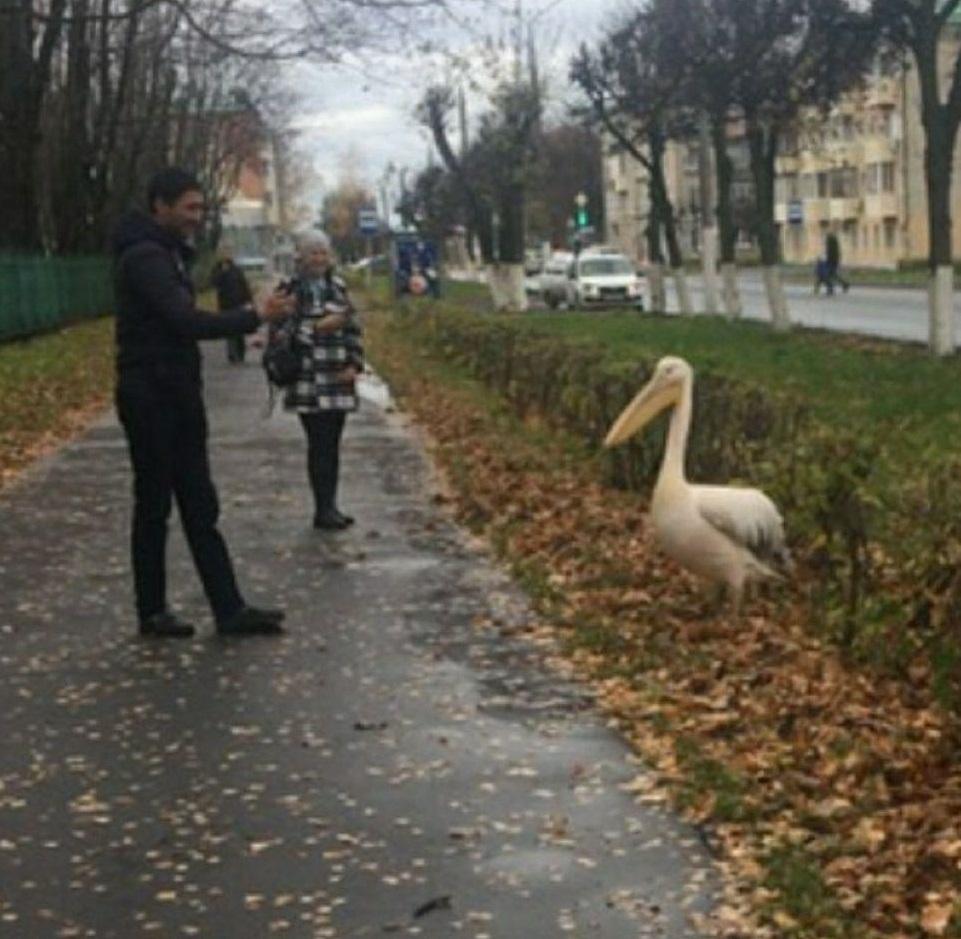 В Чебоксарах лебедей с Залива увезли зимовать