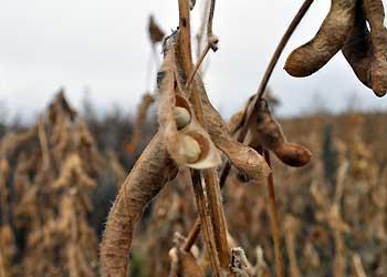 Более 50 тысяч тон сои с полей собрали амурские аграрии
