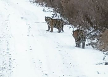 В соцсетях сообщают о тиграх в Архаринском районе